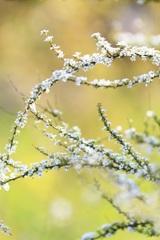 春色の小雪