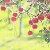 林檎のひなたぼっこ