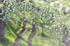 花ざかりの林檎道