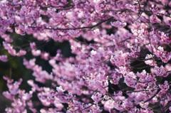 咲きほころぶ
