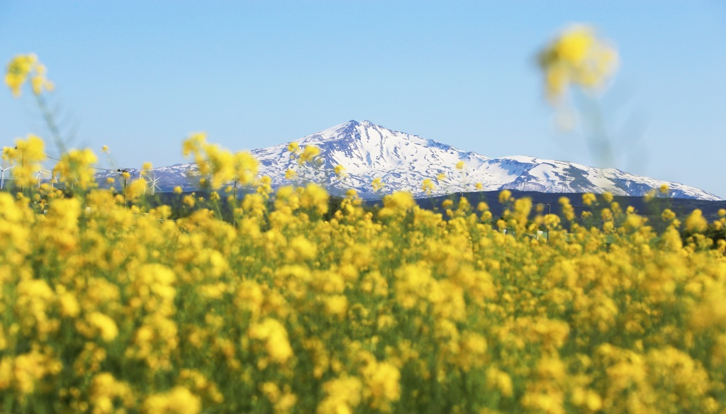 菜の花畑と鳥海山