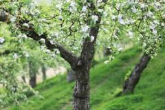 りんごの花園