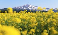 菜の花と鳥海山 2016