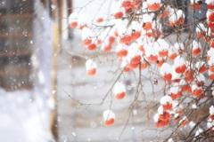 深々と ~柿の雪ぼうし~