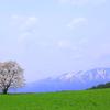 憧れの小岩井一本桜
