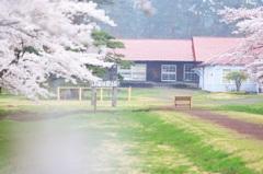 農場に春が来て ~花曇の牛舎~