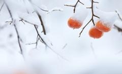 柿の雪ぼうし♪