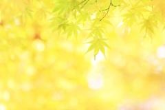 金の葉もよう