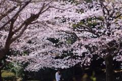 桜の木の下で~ケータイ電話~