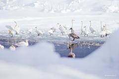 氷の中の白鳥たち
