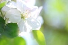 林檎の花 2013