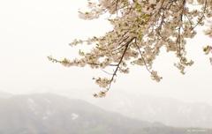 桜が咲く夢