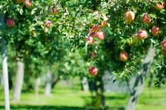 実りの秋~ふぞろいな林檎たち~
