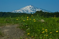 夏のたんぽぽ畑と鳥海山