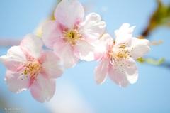 桜キャンディーズ♪