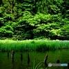 カキツバタの咲く池
