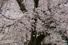 霊宝館内の大桜4