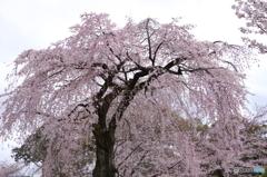 霊宝館内の大桜2