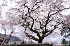 三宝院内の大桜2