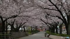 清州城横の桜のトンネル
