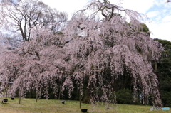 霊宝館内の大桜3