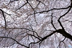 三宝院内の大桜1