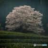 茶畑の薄墨桜