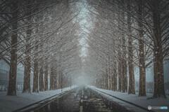 雪のメタセコイヤ