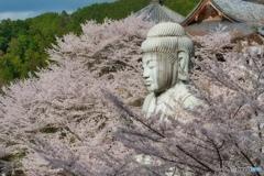 壷坂寺の桜