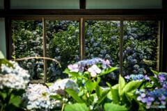 ガラスの紫陽花