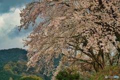 何処かの桜