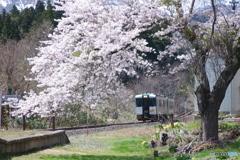 桜 まだ 咲いてた