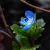瑠璃色の可愛い花~春の妖精