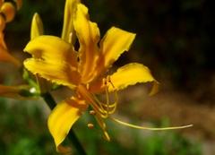 黄色いリコリス