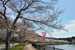 庄原・上野公園は春爛漫