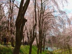 しだれ桜~甲山ふれあいの里