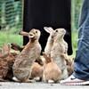 大久野島のウサギさん 2