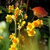 寒咲き黄水仙 1