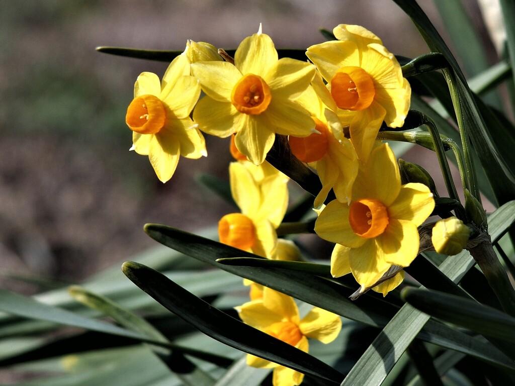咲きほこる黄水仙