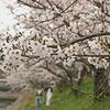 何時もの公園~桜満開