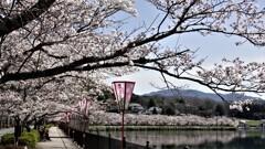 庄原・上野公園の桜