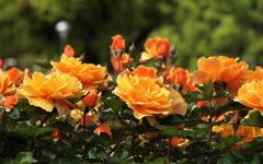 薔薇が咲いた~
