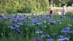 花菖蒲咲く何時もの公園