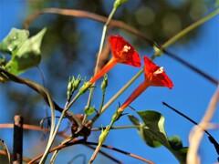 マルバルコウソウ~丸葉縷紅草