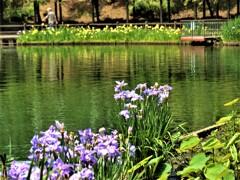 花菖蒲咲く公園