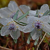 セツブンソウ~春を告げる花