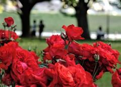 バラ咲く何時もの公園