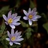 山すそにひっそりと咲くユキワリイチゲ 2
