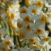 日本水仙~花盛り