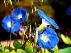 咲きほこるアサガオ